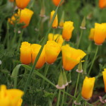 Cal. poppies