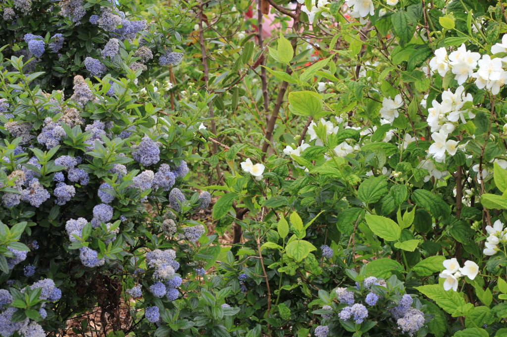 Blue blossom ceonothus, Mock orange