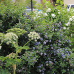 Cow parsnip, Blue blossom ceonothus, Mock orange