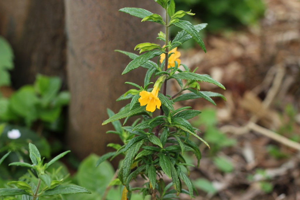 Orange bush monkey flower