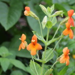 Scarlet monkey flower