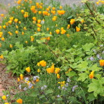 Gray currant, Cal. poppies, Bolanders phacelia